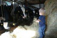Leander und die Kühe in Respektabstand